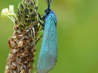 Adscita statices masculine La Turquoise mâle Metaalvlinder mannetje