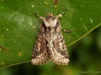 Allophyes oxyacanthae L'aubépinière Meidoornuil