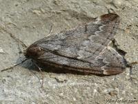 Alsophila aescularia masculine La Phalène du marronnier mâle Voorjaarsboomspanner mannetje