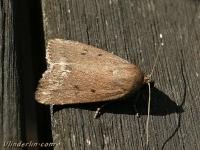Amphipyra tragopoginis La Noctuelle du salsifis Boksbaardvlinder