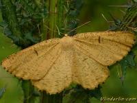 Angerona prunaria feminine La Phalène du noisetier femelle Oranje iepentakvlinder vrouwtje