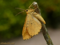 Angerona prunaria masculine La Phalène du noisetier mâle Oranje iepentakvlinder mannetje