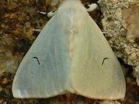 Arctornis l-nigrum Le L-noir Zwarte l-vlinder