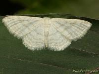 Asthena albulata La Phalène candide Wit spannertje