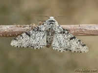 Biston betularia La Phalène du Bouleau Peper en zout vlinder