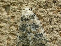 Bryophila domestica La Bryophile perlée Lichte korstmosuil