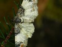 Catarhoe cuculata L'Eubolie sinuée Bonte walstrospanner