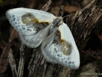 Cilix glaucata La Petite epine Witte eenstaart