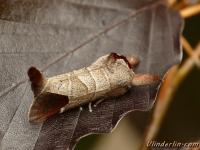 Clostera curtula La Hausse queue blanche Bruine wapendrager