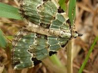 Colostygia pectinataria La Cidarie verdâtre Kleine groenbandspanner