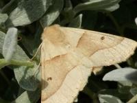 Crocallis elinguaria La Phalène de la mancienne Kortzuiger
