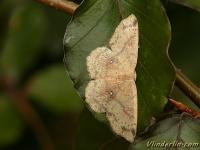 Cyclophora albipunctata L'Ephyre suspendue Berkenoogspanner