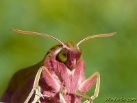 Deilephila elpenor Le Grand sphinx de la vigne Groot avondrood