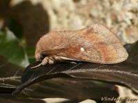 Dendrolimus pini Le Bombyx du pin Dennenspinner I