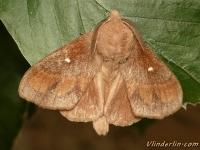 Dendrolimus pini Le Bombyx du pin Dennenspinner