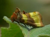 Diachrysia chrysitis La Plusie vert-doré Koperuil