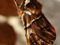 Endromis versicolora Le Bombyx versicolore mâle Gevlamde vlinder mannetje