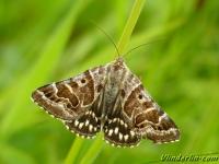 Euclidia mi Le Mi Mi vlinder