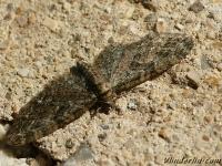 Eupithecia abbreviata L'Eupithécie printanière Voorjaarsdwergspanner