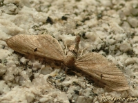 Eupithecia absinthiata L'Eupithécie de l'absinthe Egale dwergspanner