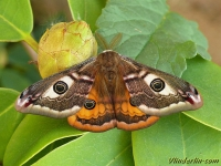 Saturnia pavonia masculine Le Petit paon de nuit mâle Nachtpauwoog mannetje