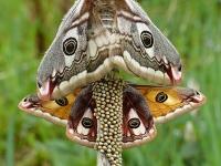 Saturnia pavonia copula Le Petit paon de nuit  Nachtpauwoog