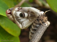 Saturnia pavonia feminine Le Petit paon de nuit femelle Nachtpauwoog vrouwtje