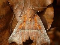 Scoliopteryx libatrix La Découpure Roesje