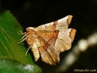 Selenia tetralunaria L'Ennomos illustre Halvemaanvlinder