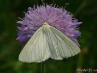 Siona lineata La Phalène blanche Vals witje
