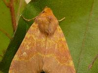 Tiliacea aurago La Xanthie dorée Saffraangouduil