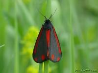 Tyria jacobaeae La Goutte-de-sang Sint-jacobsvlinder