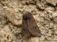 Xestia baja La Noctuelle de la belladonne Bruine zwartstipuil