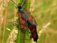Zygaena filipendulae copula La Zygène de la filipendule Sint jansvlinder