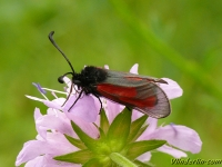 Zygaena purpuralis La Zygène pourpre Streep-sint-jansvlinder