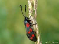 Zygaena transalpina La Zygène transalpine Zuidelijke sint-jansvlinder