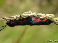 Zygaena trifolii copula La Zygène des prés Vijfvlek sint jansvlinder