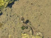Natrix helvetica Couleuvre helvétique Gevlekte ringslang