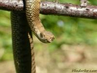 Vipera aspis Vipère aspic Aspisadder