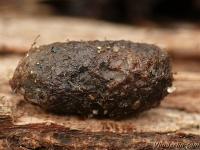 Abia fasciata cocoon Abia fasciata cocon Kamperfoeliebladwesp cocon
