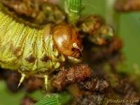 Acantholyda hieroglyphica larva Acantholyda hieroglyphica larve Dennenspinselbladwesp larve