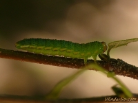 Arge dimidiata larva