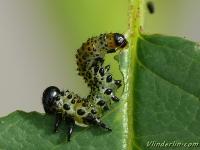 Arge ochropus larva Hylotome du rosier larve Gele rozebladwesp larve