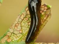 Caliroa cerasi larva Tenthrède limace larve Kersenbladwesp larve