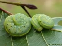 Cimbex connatus larvae Frelon à échancrure et ventre jaune larves Cimbex connatus larves