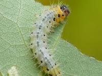 Cladius grandis larva