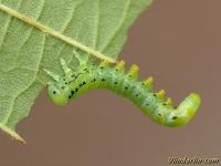Craesus alniastri larva