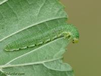 Nematinus luteus larva