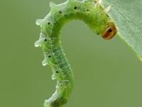 Nematus lucidus larva