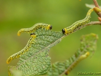 Nematus pavidus larvae